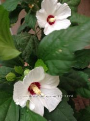 Семена гибискуса древовидного, цвет лиловый, белый
