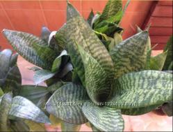 Цветок Сансевиерия Ханни , взрослое растение