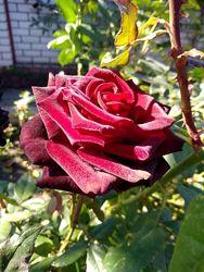 Черенки роз, разные цвета