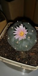 Кактус семена Лофофора Уильямса Lophophora Williamsii