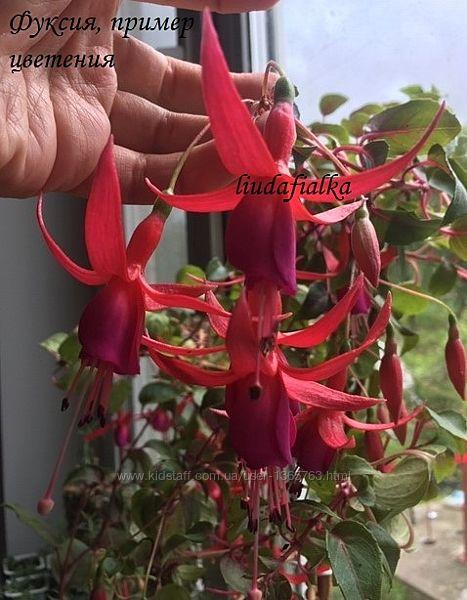 Комнатные цветы Фуксия фиолетово-розовая