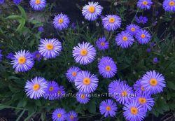 Многолетние садовые цветы флокс альпийская астра ромашка сныть рудбекия