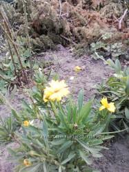 Кореопсис. Родина айстрових. Квітне з червня пожовтень