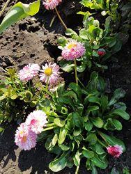 Маргаритки, садові квіти