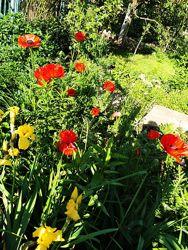 Маки-чудові садові квіти, надзвичайно крупні