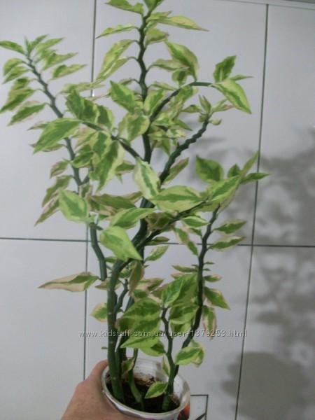 педилантус, суккуленты, домашние растения