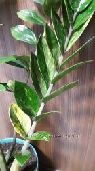 Замиокулькас вариегатный  Zamioculcas variegated