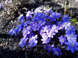 Печёночница-один из самых красивых первоцветов