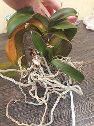 Приму в дар не нужную Вам или заболевшую орхидею