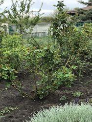 Помощь по обрезке роз и декоративных кустарников