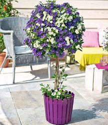 Паслен Рантонетти - фиолетовый, белый.
