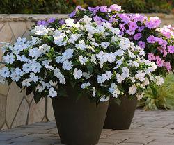 Бальзамин Уоллера - 8 крупноцветковых сортов.