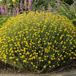 Антемис - желтая ромашка.