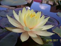 Нимфея - водная лилия Inner Light