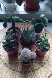 Суккуленты кактусы молодые растения
