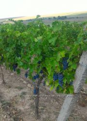 Продам виноград Каберне Мерло ВИНОградный сок натуральный Молдавский
