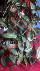 Хойя - восковой плющ. растение 20-30 см