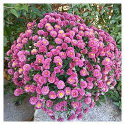 Хризантемы  деленки, корешки разнообразная