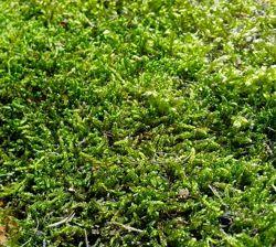 Плоский живой мох для флористики, для декора, для террариума, для улиток.