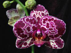 Орхидеи оптом и в розницу
