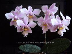 Обменяю или куплю недорого детку орхидеи фаленопсис Филадельфия