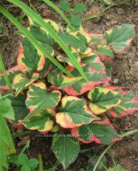 Тенелюбивые растения открытого грунта